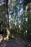 Prado na floresta do pinho Imagem de Stock