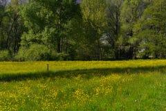 Prado por completo de flores amarillas florecientes Fotografía de archivo libre de regalías