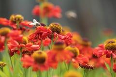 Prado rojo de la flor Fondo del resorte Miel de la abeja en las flores rojas Imagenes de archivo