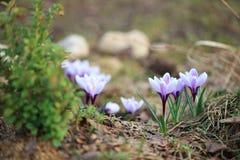 Prado roxo dos açafrões da mola bonita Fotografia de Stock