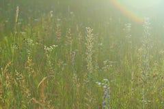 Prado selvagem do verão Fotos de Stock