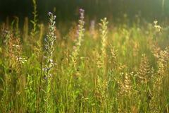 Prado selvagem do verão Imagem de Stock Royalty Free