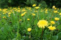Prado verde com dentes-de-leão amarelos Fotos de Stock Royalty Free