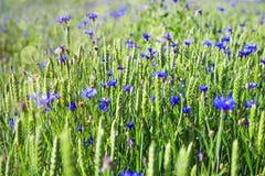 Prado verde com flores e centáureas azuis Fundo da mola Campo do verão com flores Imagens de Stock Royalty Free