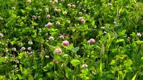 Prado verde con las flores rosadas hermosas del trébol en un día de verano soleado metrajes