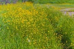 Prado verde con los ranúnculos amarillos Paisaje del VERANO Imagen de archivo