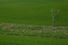Prado verde da mola com uma árvore isolada Fotografia de Stock
