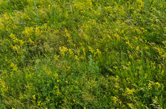 Prado verde do verão. fundos rurais da natureza Imagens de Stock Royalty Free