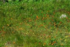 Prado verde enorme cubierto con Hawk Weed anaranjado fotos de archivo libres de regalías
