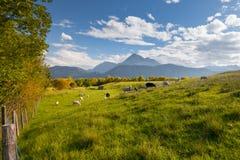 Prado verde fresco con las ovejas y las montañas Fotos de archivo libres de regalías