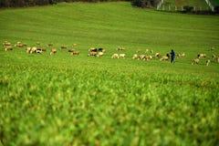 Prado verde y ovejas que pastan Imagen de archivo