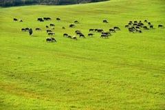 Prado verde y ovejas que pastan Fotos de archivo libres de regalías