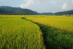 Prados con arroz Fotografía de archivo