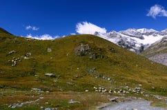Prados da montanha com um rebanho dos carneiros em cumes suíços Fotos de Stock Royalty Free