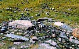 Prados de la montaña con una multitud de ovejas en las montañas suizas Foto de archivo libre de regalías