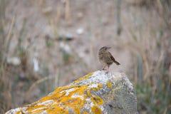prados do pipit do pássaro no fim da luz do dia acima em um perfil da rocha no fundo cinzento imagens de stock