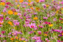 Prados hermosos del bipinnatus del cosmos en la floración durante el invierno, como el fondo Imagen de archivo