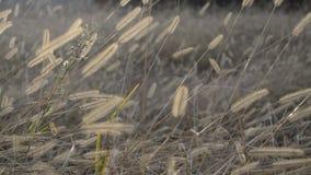 Prados secos no sol de agosto video estoque