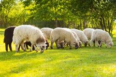 Prados verdes com os carneiros que pastam em uma área bonita, preto e Foto de Stock