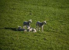 Prados y corderos, distrito máximo, Inglaterra, el Reino Unido Fotos de archivo libres de regalías