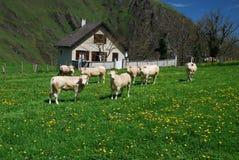 Prados y vacas de Soule en tiempo de resorte Foto de archivo