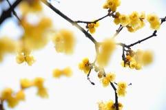 praecox chimonathus Стоковое Фото
