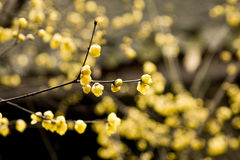 Praecox del Chimonanthus Fotografia Stock