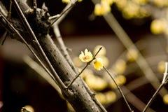 Praecox del Chimonanthus Immagine Stock Libera da Diritti