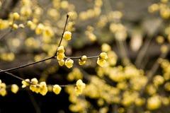 Praecox do Chimonanthus Fotografia de Stock