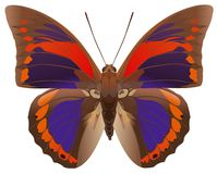 Praenestina Butterfly Royalty Free Stock Image