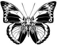 Praenestina Butterfly. The vector stylized drawing of the butterfly with the opened wings Royalty Free Stock Image