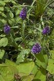 Praetensis du sud de Marsh Orchid Dactylorhiza image stock