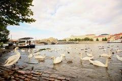 Prag-Ansicht mit Schwänen im Vordergrund Lizenzfreies Stockbild