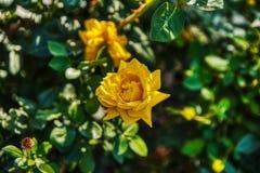 Prag-Garten voll von Rosen lizenzfreies stockbild
