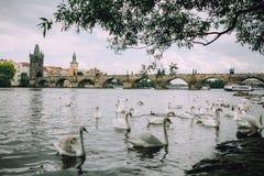 Prag, Tschechische Republik - Mai 2014 Ansicht der Moldaus, des Charles Bridges und der Menge der Schwäne Stockfotografie