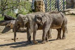 Prag-Zoo, in dem wir erwachsene Elefanten sehen lizenzfreie stockfotos