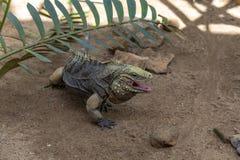 Prag-Zoo Leguan-Ausstellung stockbild