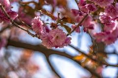 Prag-Zoo und blühende Kirschblüte lizenzfreies stockbild