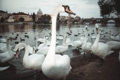 Praga łabędź obrazy royalty free
