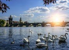 Praga Charles łabędź na Vltava rzece w Praga i most cesky krumlov republiki czech miasta średniowieczny stary widok obraz royalty free