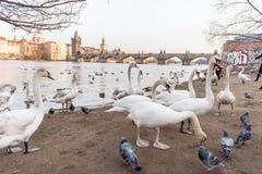 PRAGA, CHECO - 14 DE MARZO DE 2016: La gente está alimentando el cisne y la paloma en costa del río de Vltana en Praga, checa Cha Imágenes de archivo libres de regalías