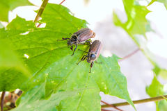 Praga europeia do besouro - besouro europeu comum & x28; melolontha& x29; igualmente sabido Foto de Stock Royalty Free