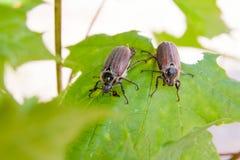 Praga europeia do besouro - melolontha comum do besouro europeu igualmente conhecido Fotos de Stock Royalty Free