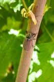 Praga europeia do besouro - melolontha comum do besouro europeu igualmente conhecido Imagem de Stock