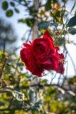 Praga ogrodowy pełny róże zdjęcia royalty free