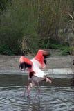 Praga. Parque zoológico. Flamenco Imagen de archivo libre de regalías