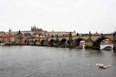 Praga, República Checa, em janeiro de 2015 Cisnes na água na frente de Charles Bridge famoso fotos de stock royalty free