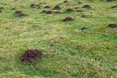 Pragas da paisagem, toupeiras Imagem de Stock