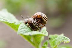 Pragas do jardim, besouro de Colorado no campo da batata Inseto da agricultura imagens de stock royalty free