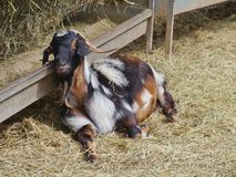 Pragnant уроженец козы Majorera к Фуэртевентуре Стоковая Фотография RF